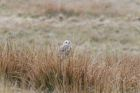 Short eared owl seen from the dining room window
