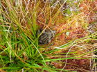 Common frog enjoying the sphagnum moss.