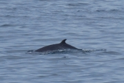 Minke Whale off the shore in Melviag